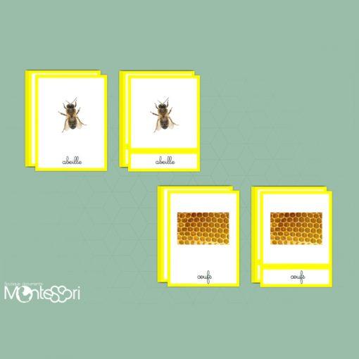 nomenclature du cycle de l'abeille