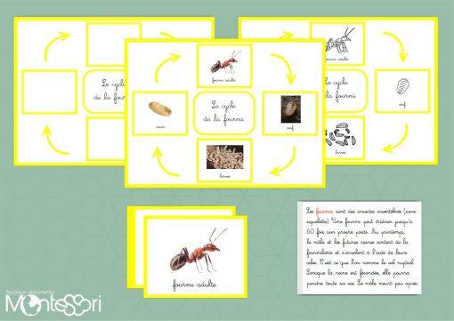 cycle de la fourmi